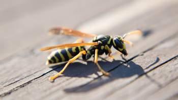 Die Wespe